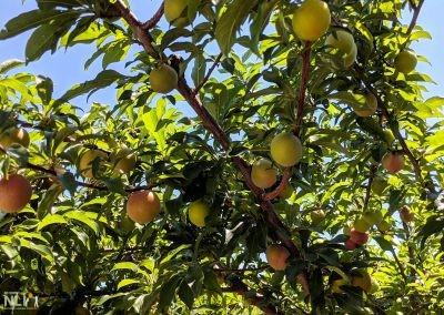 Fruiting plum tree