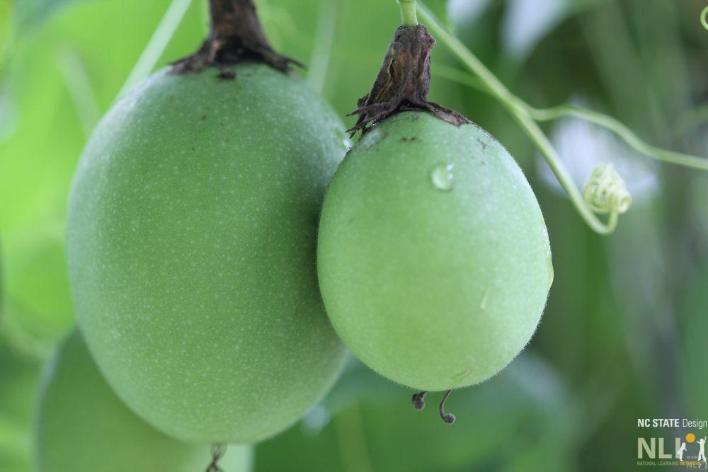Edible-Passiflora-incarnata