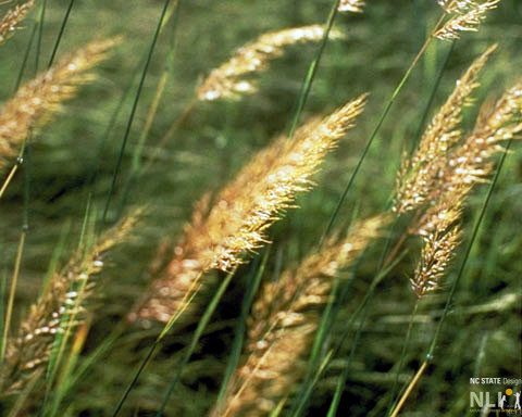 Plant of the Month: November – Indian Grass