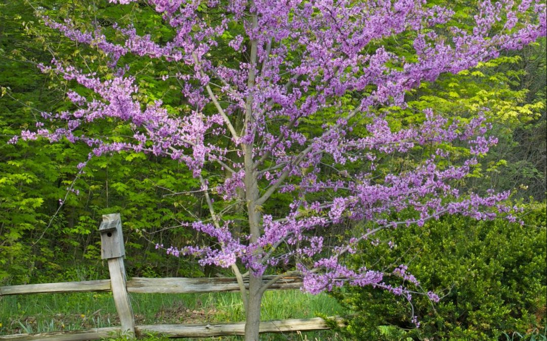 Plant of the Month: April – Redbud