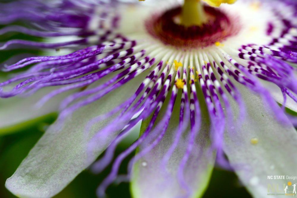passionflower-corona