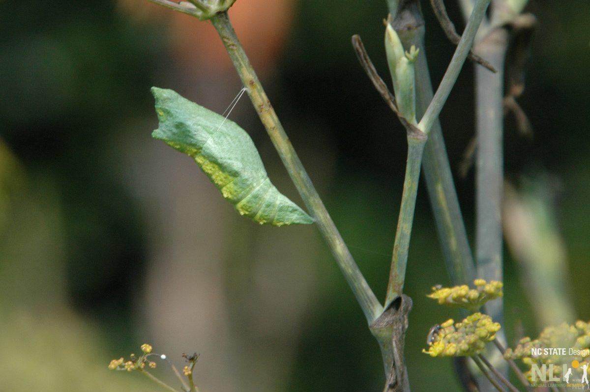 Black swallowtail chrysalis on fennel_LO