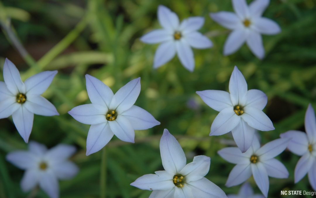 Plant of the Month: March – Spring Starflower