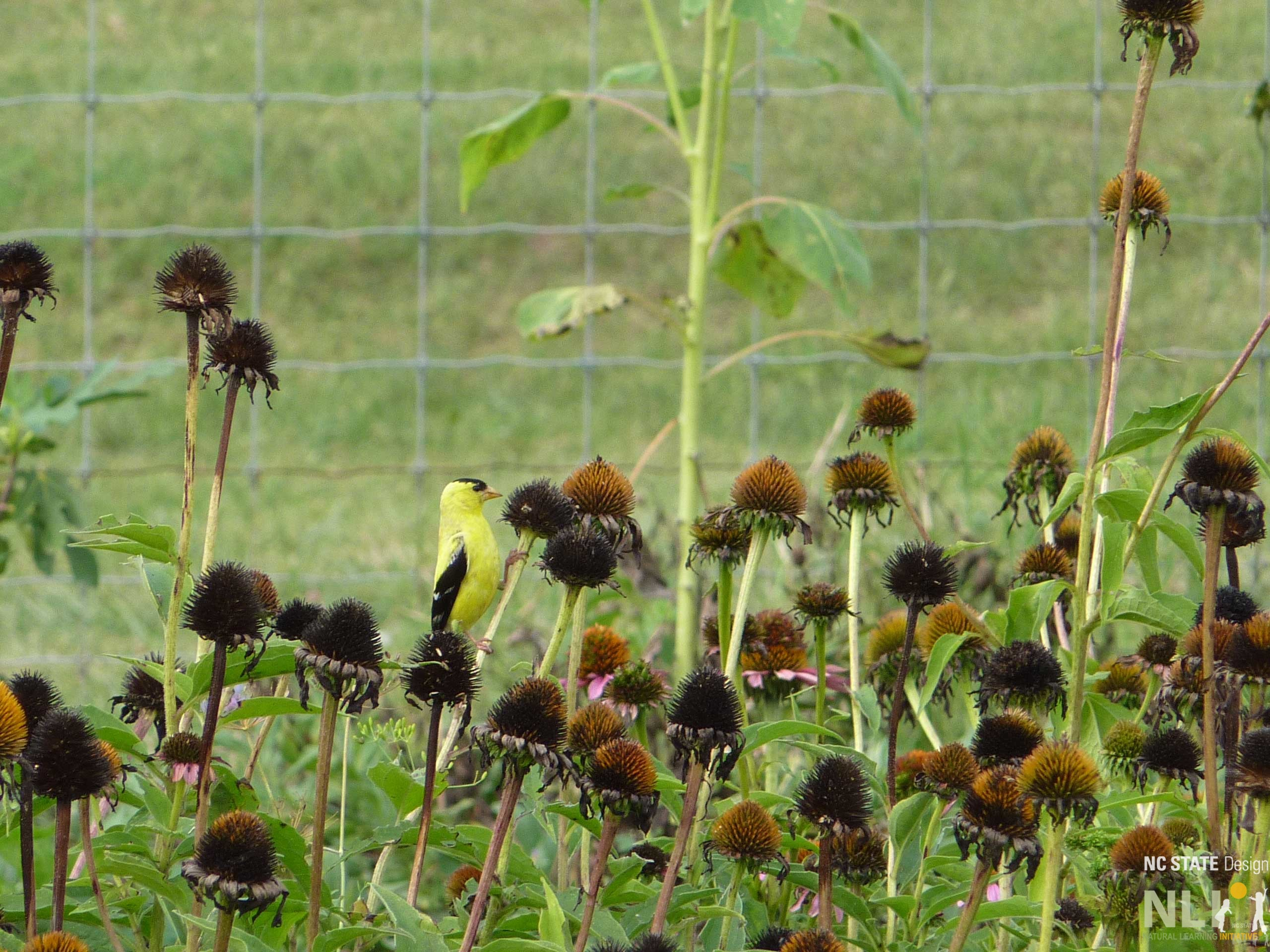 Goldfinch-on-Echinacea