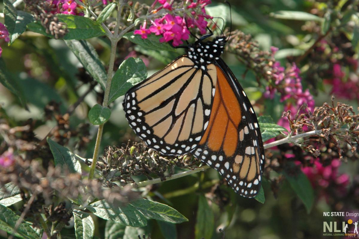 Monarch butterfly on Buddleja_LO