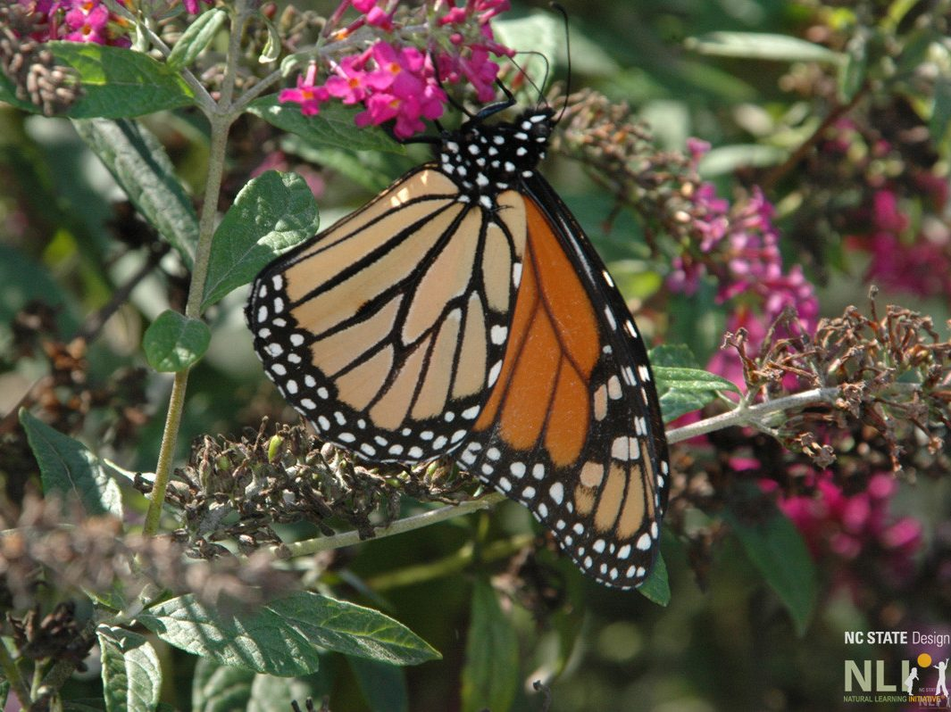 Monarch butterfly on Buddleja_LO