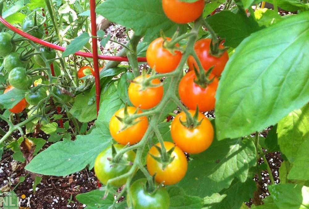 Growing Tomatoes in Preschool Gardens