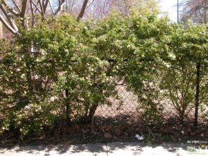 Naturalizing Chain link Fences