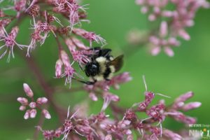 More on Bees and other Pollinators