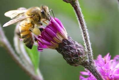 honey-bee-vernonia-Debbie Roos